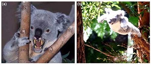 Drop bear và động tác tấn công của chúng trong bài viết đăng tải ngày Cá tháng Tư của tạp chí địa lý Australia. Ảnh: Australian Geographic.