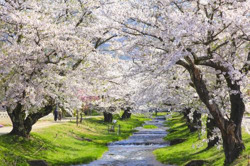 Bờ sông Kannoji với hai bên là bức tường hoa anh đào dài hơn một cây số.