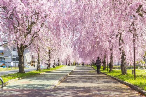 Công viên Kitakata với khoảng 1.000 cây hoa anh đào rủ trải dài 3 km.