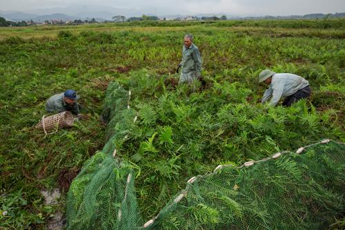 Những người bắt chuột đặt lưới bẫy trên đồng lúa ở Quảng Ninh. Sau đó họ dẫm lên cỏ đánh động lũ chuột chạy vào bẫy.