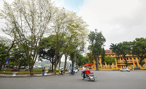 Trên ảnh là hàng cây sưa trắng ở vườn hoa cạnh quảng trường Ba Đình. Ảnh: Kiều Dương.