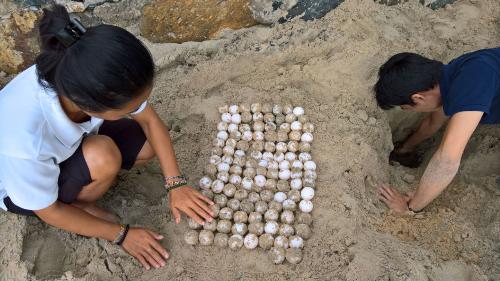 Nhân viên Six Senses Côn Đảo chăm sóc cho các ổ trứng rùa.