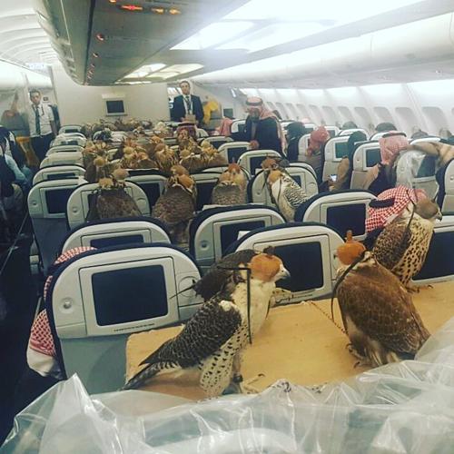 Chim ưng đi máy bay không còn xa lạ với ngườiTrung Đông, hiếm khimột chuyến tập trung lượng lớn thế này, những hãng hàng không thương mại thường giới hạn 6 con chim bay cùng chủ một lần.