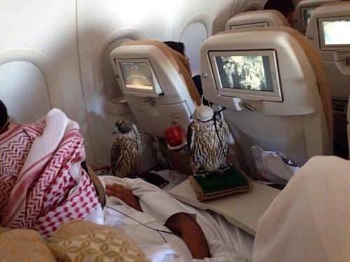 Chim ưng đi máy bay cùng chủ. Ảnh: Mrs Trefusis/Twitter.