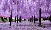 Cây hoa tử đằng 149 tuổi thu hút khách du lịch Nhật Bản