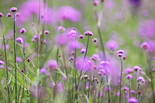 Theo những người trồng hoa tại khu du lịch Sun World Fansipan Legend, đây là giống hoa nhập khẩu từ nước ngoài và được khu du lịch ươm trồng, chăm sóc từ cuối năm ngoái, với mong muốn tạo nên một không gian hoa đầy màu sắc và khác lạ cho du khách dạo chơi.