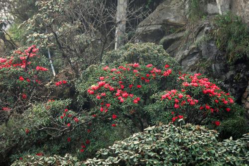 Không chỉ có biển hoa tím đẹp lạ, Fansipan khiến ai lạc bước tới đây cũng ồ lên thích thú bởi muôn vàn loài hoa độc đáo. Tháng 2 thắm sắc đào rừng, mận trắng vừa qua đi, tháng 4 lại tới với hoa đỗ quyên quý hiếm đỏ rực những vạt rừng, những gốc hoa anh đào như đốm lửa xòe nở giữa sương lạnh...