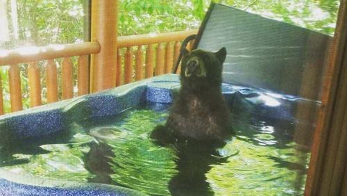 Chú gấu ngâm mình trong bồn nước nóng, nhắm mắt và thư giãn. Ảnh: Fox News.