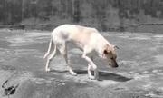 Sở thú Trung Quốc nhốt chó nhà vào chuồng ghi biển chó sói