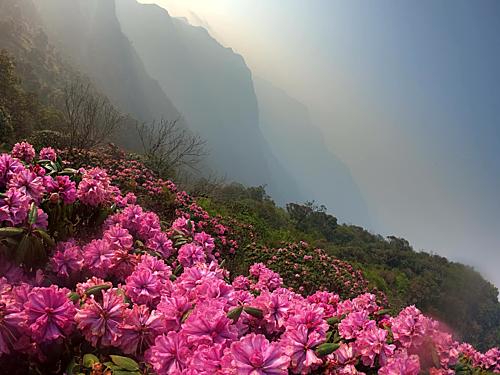 Hoa đỗ quyên nở rộ trên đỉnh Tả Liên. Ảnh: Quốc Tuấn.