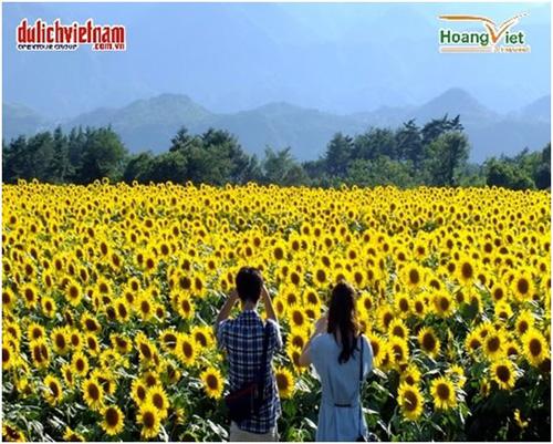 Hoa hướng dương tại đất nước mặt trời mọc.