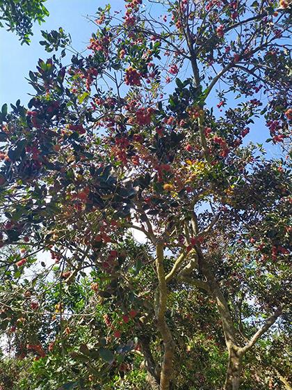 Cây chôm chôm trĩu quả trong vườn tại Bảo Thạch.