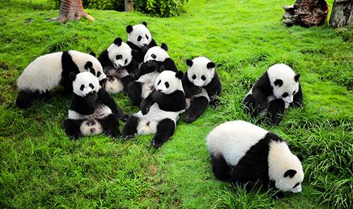 Hơn 80% tổng sốgấu trúc trên thế giới sống tại Tứ Xuyên. Ảnh: China Discovery.