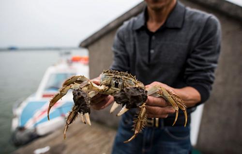 Cua lông trong hồ Dương Trừng. Ảnh:Johannes Eisele/AFP.
