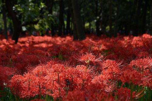 Hoa Bỉ Ngạn là loài cây thân thảo với đặc tính hoa và lá không xuất hiện cùng một thời điểm. Ảnh:Get Around Japan.