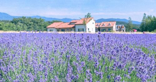 Vẻ đẹpcủa làng hoa oải hương Hani. Ảnh: Trazy.