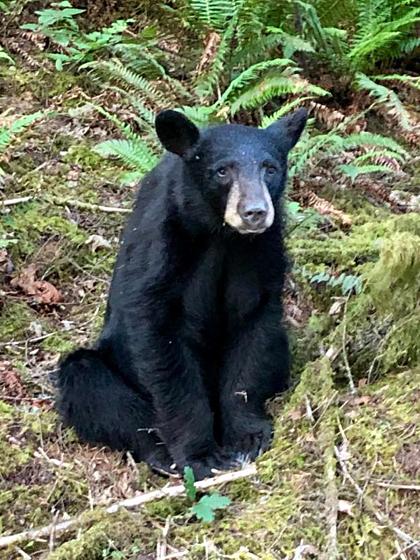 Nếu quen tìm đến những nơi khách hay để lại đồ ăn, một con gấu thường bị giết để đảm bảo an toàn cho người. Con gấu đenvừa bị bắn chết mới 2-3 năm tuổi, nặng khoảng50kg. Ảnh: WCSOOregon.