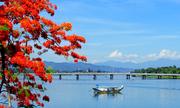 Phượng khoe sắc đỏ bên dòng sông Hương