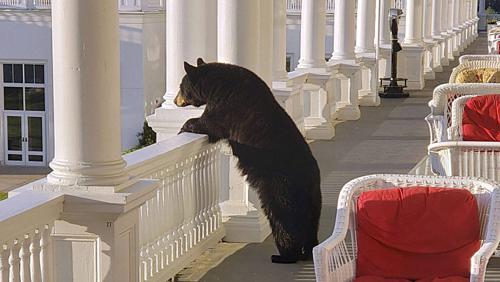 Con gấu trên tầng của khách sạn Mỹ. Ảnh: AP.