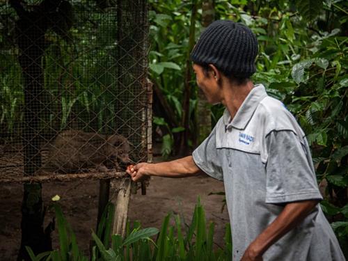Nông dân chocầy nuôi nhốtăn cà phê ở Tampaksiring, đảo Bali, Indonesia. Ảnh: Nicky Loh/World Animal Protection.