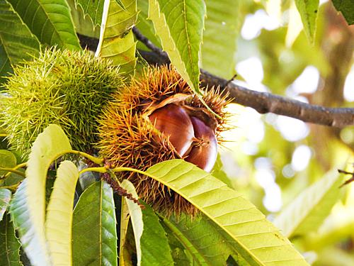 Ngoài việc tự tay hái những quả dưa gang, nếu đến Ibaraki vào mùa thu du khách còn có thể vào thăm những khu vườn hạt dẻ tại Ibaraki. Nhặt hạt dẻ dưới tán cây là một trong những thú vui của nhiều người Nhật đặc biệt là trẻ em. Ảnh: Cupido.