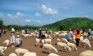 Đồng cừu ở Bà Rịa - Vũng Tàu đông khách dịp cuối tuần