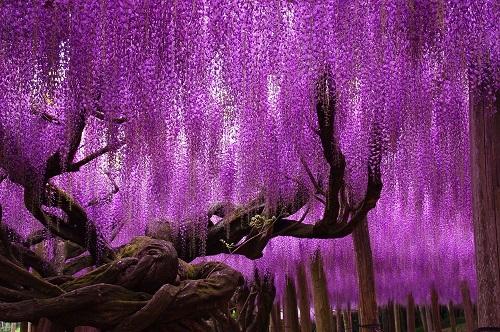 Sắc tím rực rỡ tượng trưng cho tình yêu vĩnh cửu của hoa Tử Đằng. Ảnh: Reddit