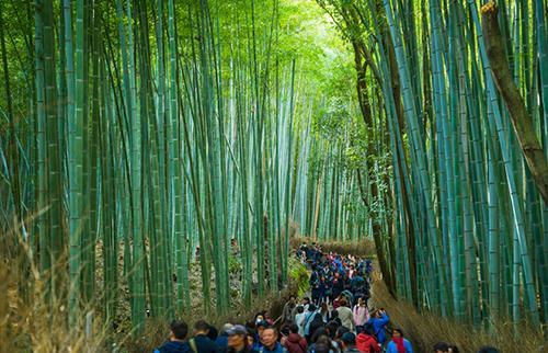 Ngoài khung cảnh yên bình từ những hàng tre vút cao nối tiếp nhau trên một diện tích rộng lớn. Rừng tre Sagano còn được mệnh danh là khu rừng của âm thanh, vì tiếng lá tre xào xạc khi gió thổi tạo nên những âm thanh độc đáo tựa như lời thì thầm của gió. Âm thanh của rừng tre cũng được chính phủ Nhật đưa vào danh sách 100 âm thanh cần bảo tồn. Ảnh: JW Web Magazine.