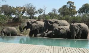 Bể bơi cho khách vừa tắm vừa chơi cùng voi ở Nam Phi