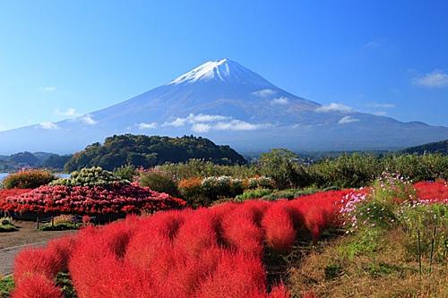 Công viên Oishi là điểm dừng chân lý tưởng với những du kháchthích ngắm hoa. Mùa thu, nhữngcây Kokia ởđây chuyển sang màu đỏ thẳm tạo nên một cảnh sắc tuyệt đẹp.Công viên Oishi Park nằm ở tỉnh Yamanashi và ở nằm ở bờ Bắc của hồ Kawaguchiko. Ngoài ngắm dạo quanh công viên và ngắm cảnh du khách có thể tham gia vào nhiều hoạt động như hái trái cây,làm mứt.Ảnh: Zekkei Japan.