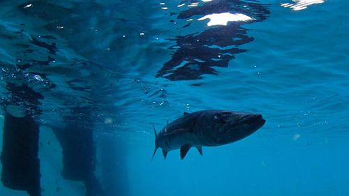 Những sinh vật biển tự do bơi lội dưới chân ngọn tháp. Ảnh:Frying Pan Tower.