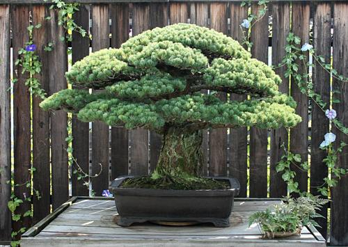 Từ năm 2017, Bảo tàng Bonsai và Penjing hoàn thiện một khu trưng bày dành riêng cho những cây bon sai Nhật Bản (Japanese Pavilion) và cây thông Yamaki được đặt gần lối vào. Ảnh: U.S. National Arboretum.