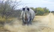 Du khách hoảng hốt vì tê giác nổi điên đuổi theo