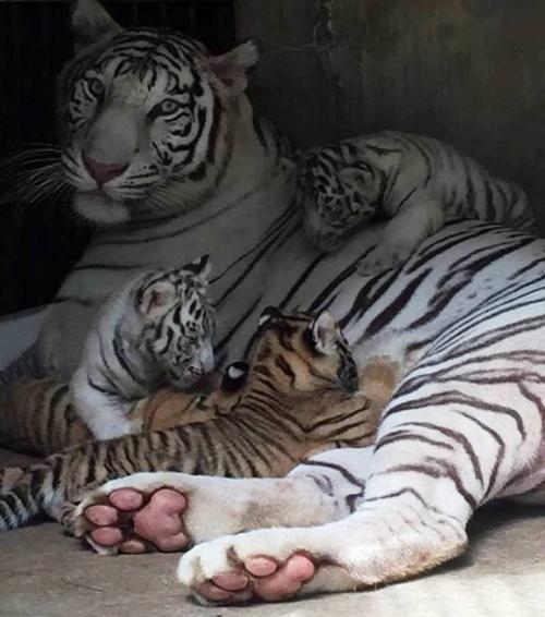 Hổ Bengal con được sinh ra tại Vườn Xoài.
