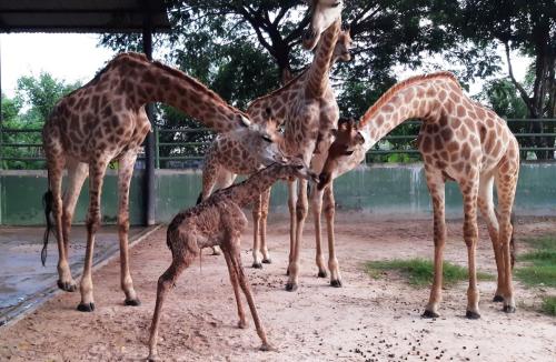 Hươu cao cổ con (giữa) mới sinh tại khu du lịch sinh thái Vườn Xoài.