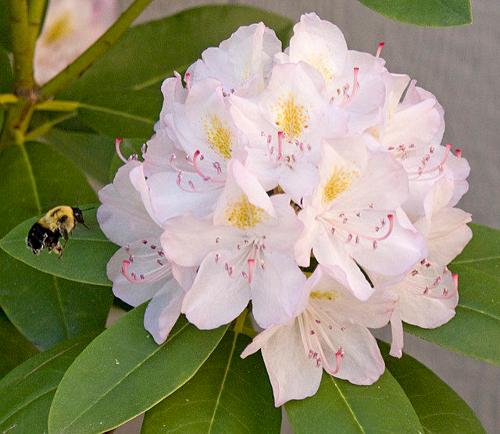 Đỗ quyên chứa mật hoa độc còn có thể được tìm thấy tại Nhật Bản, Australia, New Zealand, Nam Phi hay vài bang của Mỹ. Ảnh:Mark Spencer.