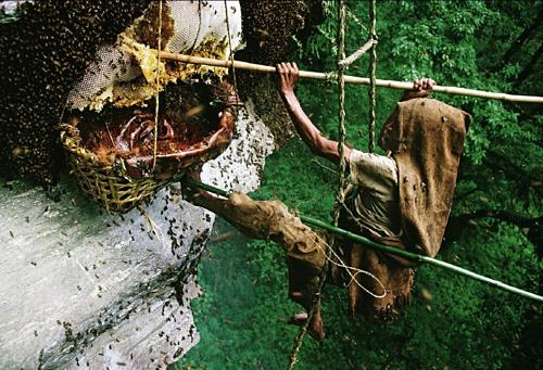 Hành trình săn mật ong điên thậm chí còn nguy hiểm hơn việc ăn thứ đặc sản này. Ảnh:ScoopWhoop.