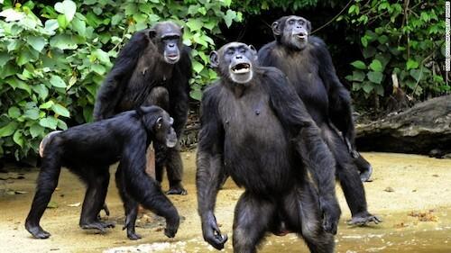 Những con tinh tinh không biết bơi, nên chỉ đi lại ven bờ. Ảnh: Zoom Dosso.