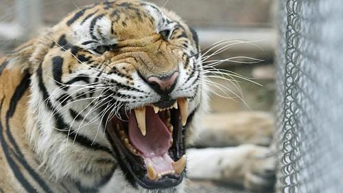 Các nhà hoạt động cáo buộc các nhà sư của Chùa Hổcho bầy hổ sinh sản bất hợp pháp, trong khi một số du khách nói rằng những con vật dường như bị đánh thuốc mê. Trụ trì nhà chùa đã phủ nhận những lời buộc tội. Ảnh:AAP.