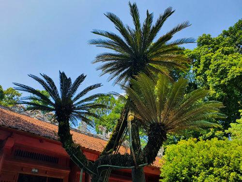 Ba nhánh của cây vạn tuế vẫn ra lá xanh tươi.
