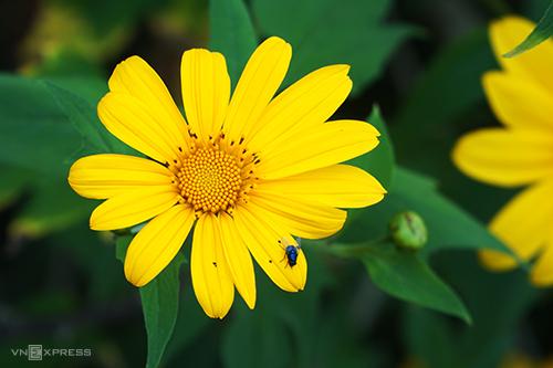 Hoa dã quỳ như một đặc sản níu chân du khách đến Đà Lạt vào mỗi năm. Ảnh: Di Vỹ.