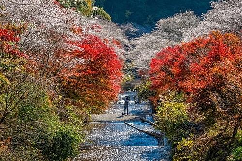 Tháng 11 là thời điểm du khách có thể ngắm hoa anh đào nghịch mùa ở Nhật Bản. Ảnh: Ảnh: Shutterstock/Wipark Kulnirandorn.