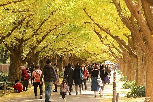 Đại lộ Ngân Hạnh là một trong những điểm chụp hình mùa thu lãng mạn tại Nhật Bản. Ảnh: Japankuru.