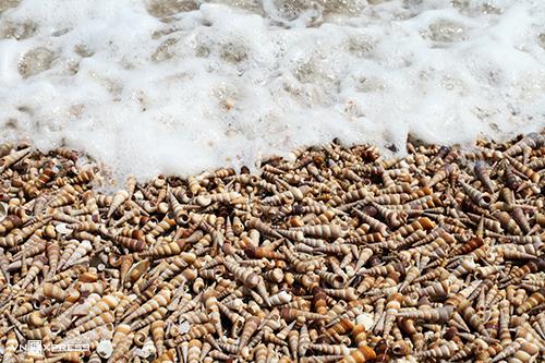 Mỗi năm vào mùa gió chướng, hàng triệu vỏ ốc được sóng biển xô bờ.
