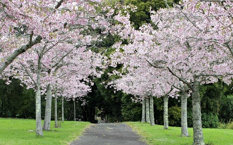 Tán hoa anh đào nở rộ đầy thơ mộng.