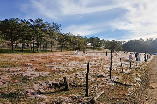 Đồi cỏ hồng thu hút nhiều du khách tới chụp ảnh cưới. Ảnh: Lâm Phương Trần.