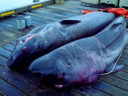 Cá mập Greenland là loài động vật không xương sống có tuổi thọ cao nhất thế giới. Ảnh: Daria.