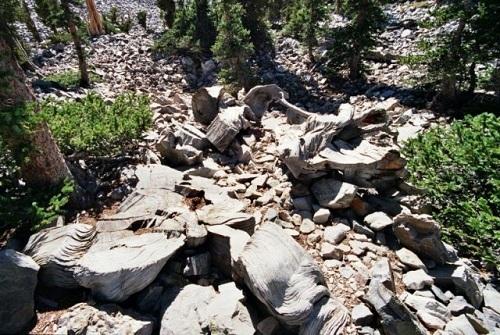 Gốc cây Prometheus trong khu rừng thông dưới đỉnh núi Wheeler. Ảnh: Daily Press.