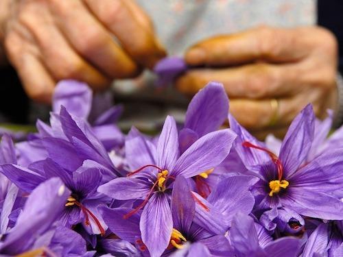 Một mondadora lấy nhụy từ một bông hoa nghệ tây. Ảnh:Alamy.
