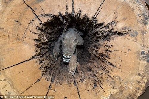 Từ những năm 1980, xác ướp chó săn đãtrở thành ngôi sao của khách tham quan.Ảnh: Southern Forest World.